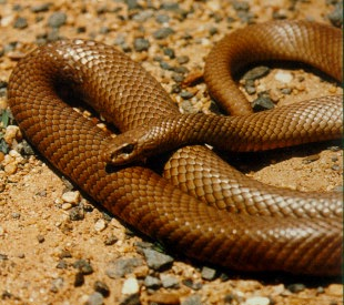 The Common Eastern Brown Snake